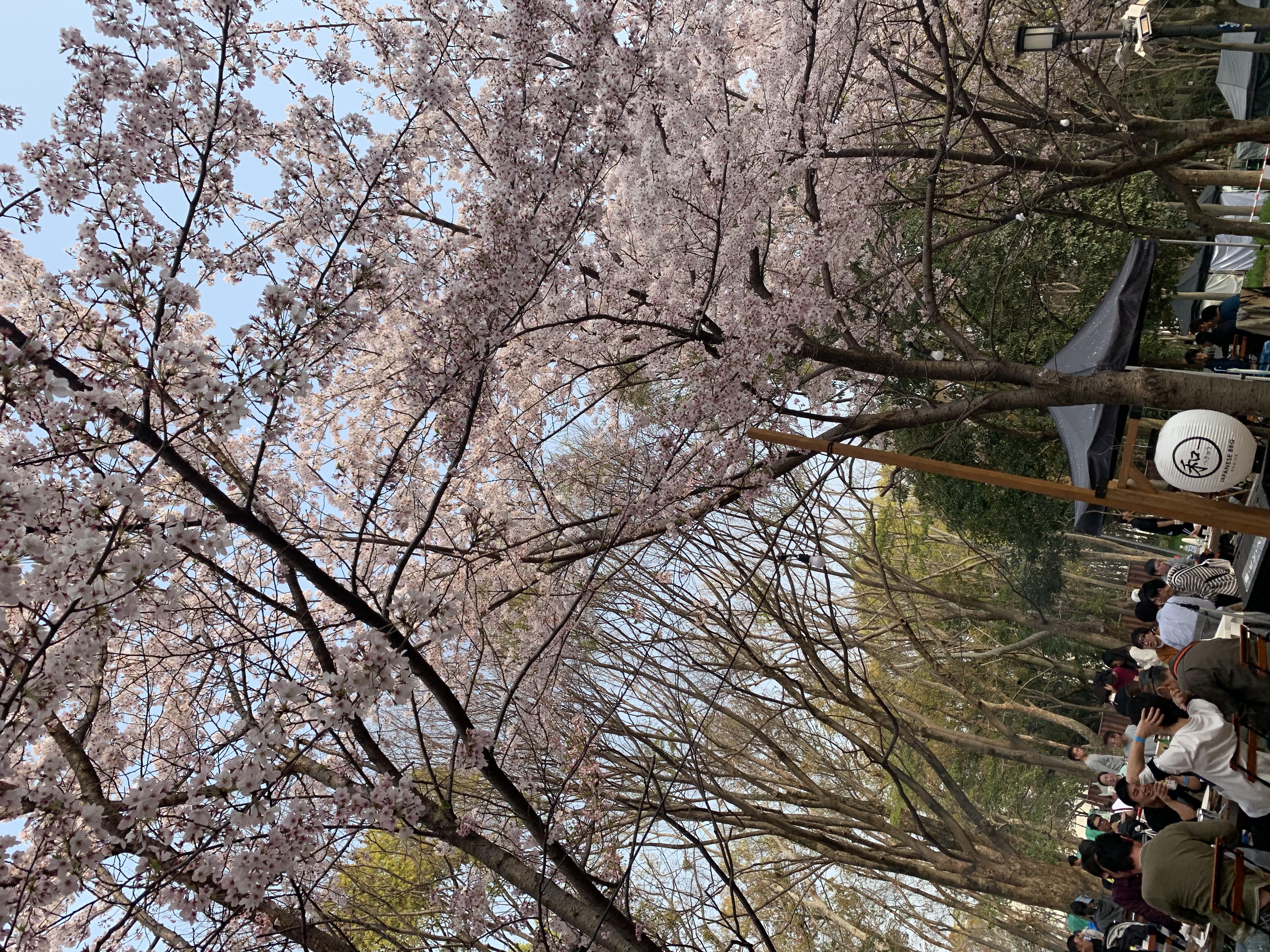 お花見🌸川尻